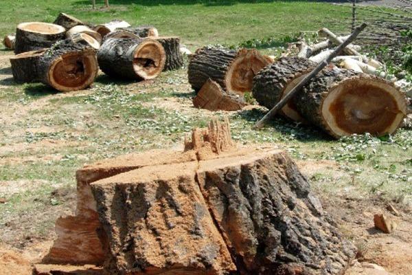Baum fällen, Baumstumpfen