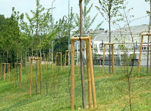 Baumstützte, Jungbäume